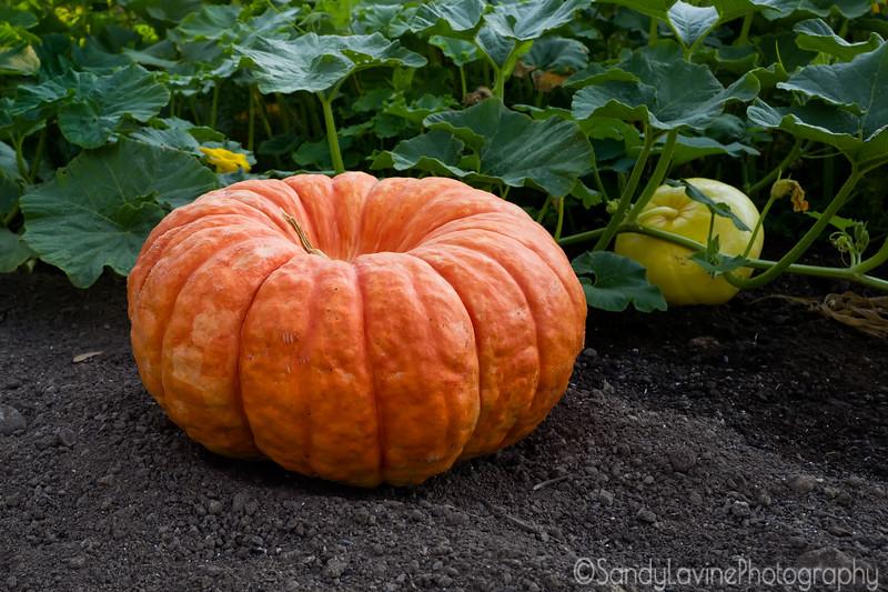 Pre Pie Pumpkin