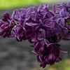 Lilac April 2020