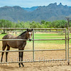 Al-Marah Arabian Horse Ranch, Tucson, Arizona, Judy A Davis Photography
