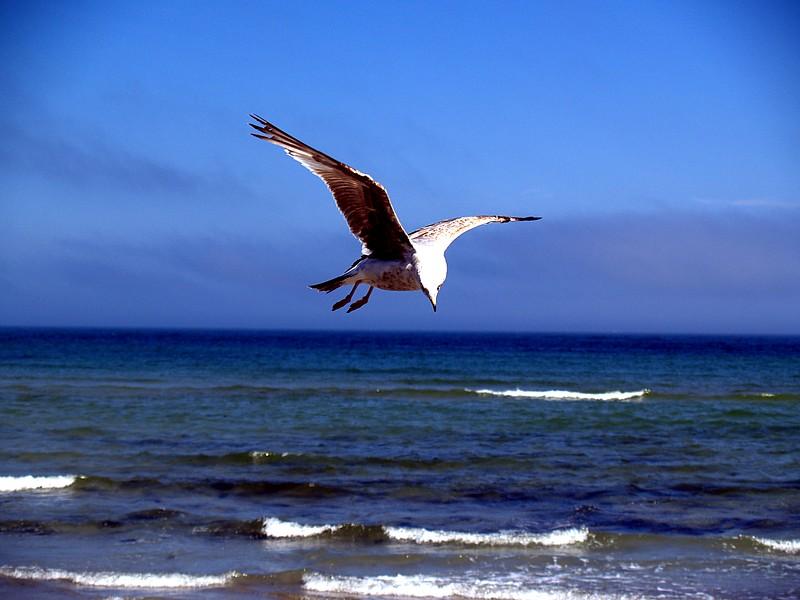 Maine sea gull