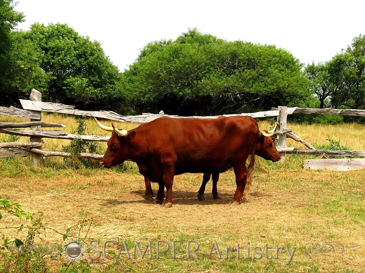 Plymoth Plantation cattle
