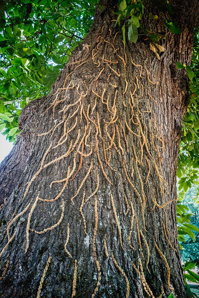 Oak tree catkins stuck into the cracks of the oak tree's bark.