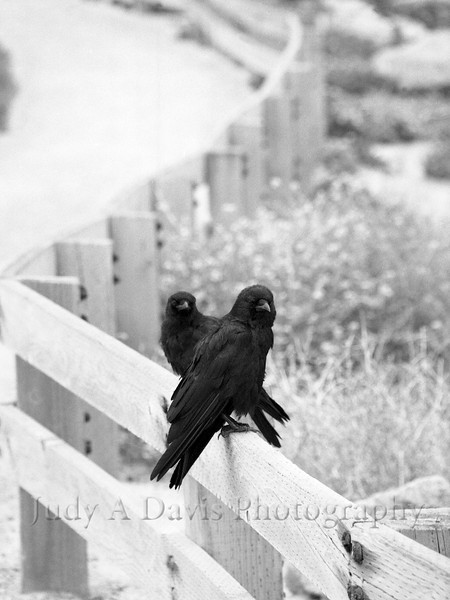 Two crows in California