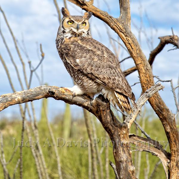 Owl-9041 copy