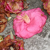 Fading Hibiscus in Charleston, SC