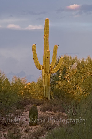 The ubiquitous Saguaro nearing sunset, Tucson, Arizona, Judy A Davis Photography