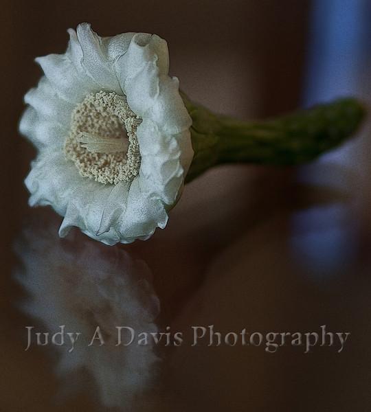 Saguaro Blossom, Tucson, Arizona, Judy A Davis Photography