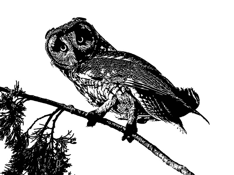 Long Eared Owl Stamp