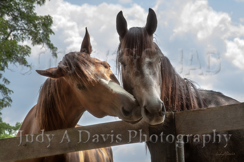Two Horses, Lexington, Kentucky <br /> c2012 Judy A Davis Photography