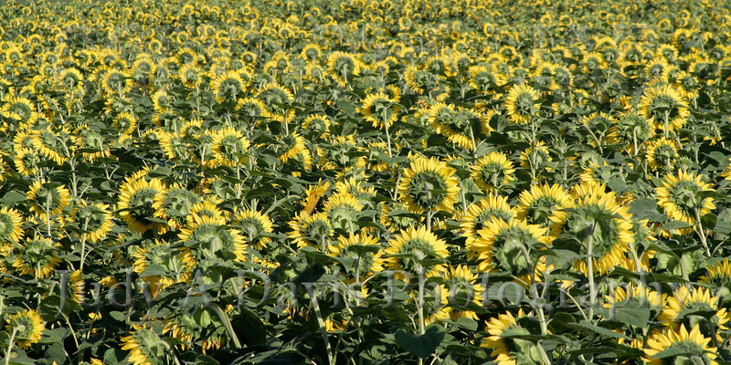 Field of Sunflowers, Montague, Michigan