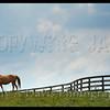 Grazing, Lexington, Kentucky<br /> c2012 Judy A Davis Photography