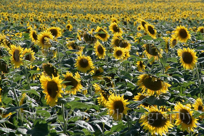 Field of Sunflowers, Montague, Michigan