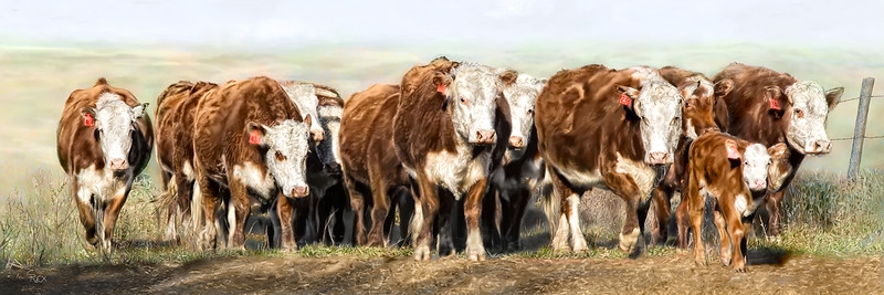A-Herefords