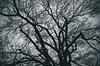 Shadow Tree II