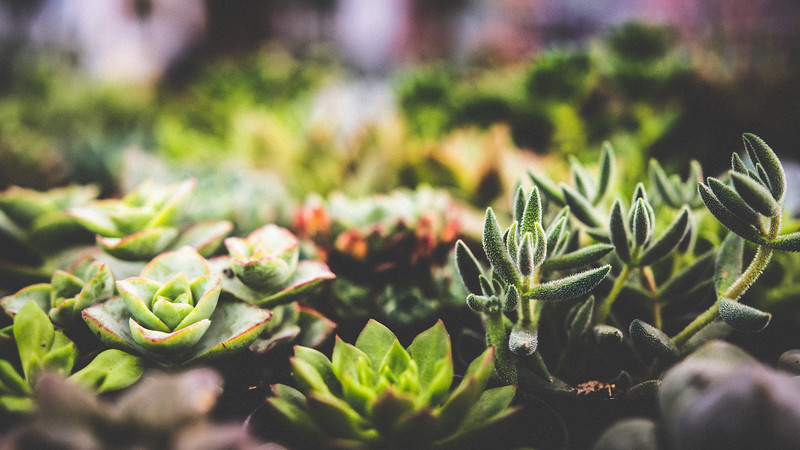 Succulent Variety