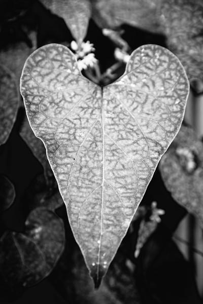 Viper Leaf