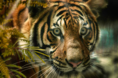 """6th Sense of the Tiger"""