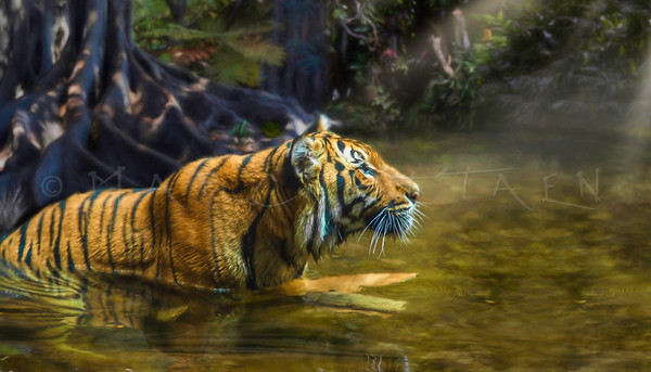 Sumatra Tiger LIGHT OF THE TIGER