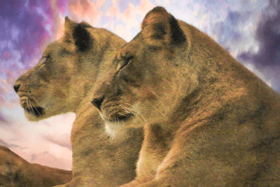 SISTER SUNSET LIONESS