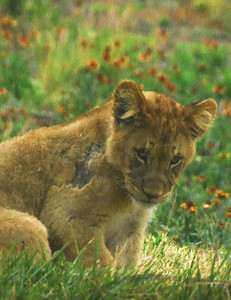 GROWING UP BABY LION
