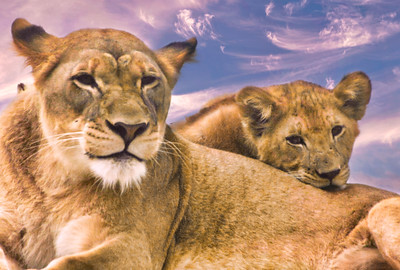 """MOTHER LION and BABY """"WHEN IS DINNER """""""