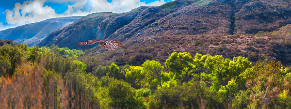 Mission Trails Fly Ower Hawk  (horizontal, pano,)