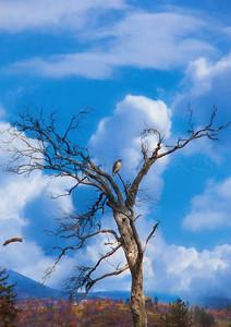 THRONE OF TREES HAWKS