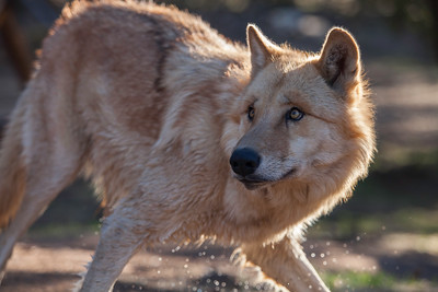 california wolf center julian ca