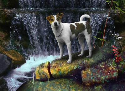 NATURE BOY  Jack Russell Terrier