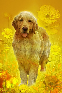 GOLDIE THE GOLDEN RETRIEVER