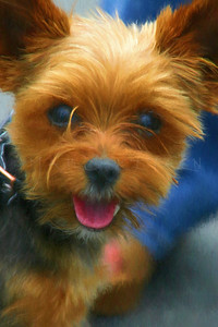 HAPPY TO MEET YOU YORKIE