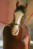 CLYDESDALE HORSE GROOM TIME
