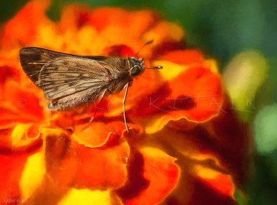 SKIPPER BUTTERFLY DELIGHT