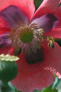 HONEY BEE OPIUM POPPY