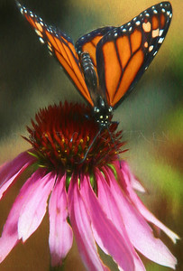 MONARCH APPETIZER ECHINACEA FLOWER