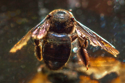 CARPENTER BEE REFLECTIONS