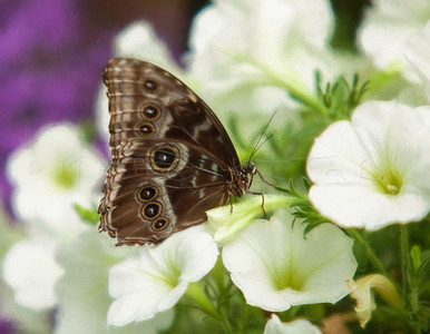 GIANT OWL BUTTERFLY WHITE FLOWERS