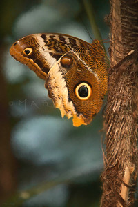 GIANT OWL BUTTERFLY HANG OUT