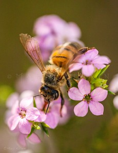HONEY BEE PINK FLOWER INSPECTOR