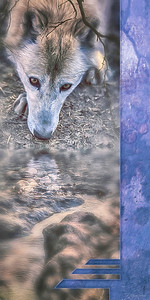 WOLF DRINKING WATER (pano/vertical)