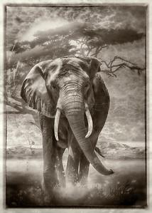 """Elephant Nobility"" (Black & White art)"