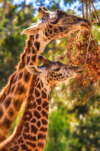 GIRAFFE FAMILY GROWING UP IN TREES