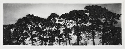 Birregrurra Pines, charcoal on paper  SOLD