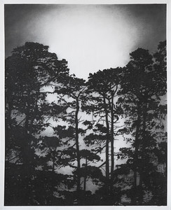 Illuminated Pines, charcoal on paper 145 x 107cm approx framed SOLD