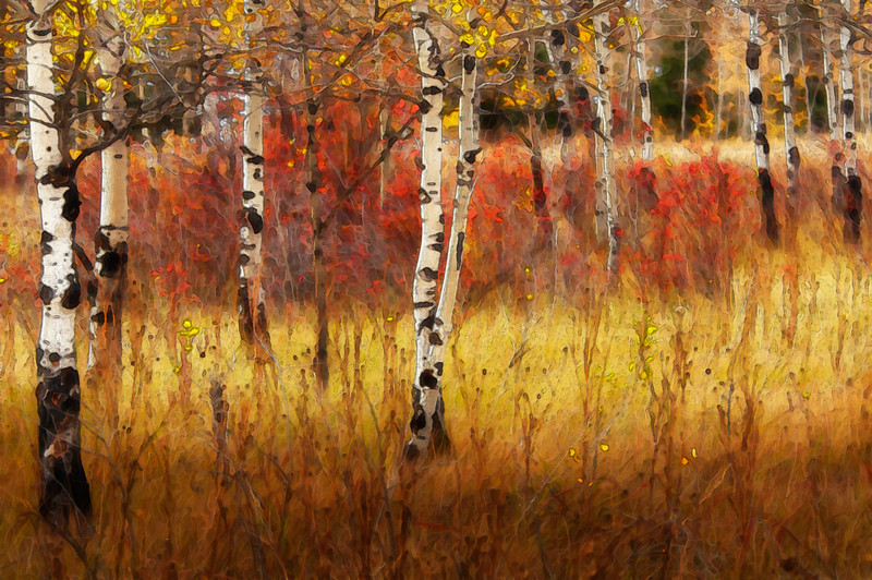 IN THE GROVE<br /> <br /> The turning leaves of Autumn paint layers of colour across a grove of poplars at Felker Lake,near Williams Lake, British Columbia, creating a mood of joy and energy.