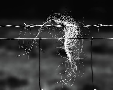 Bouquet of Cows Hair on Barbed Wire