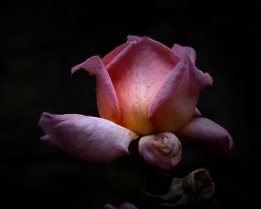 Einaudi Rose