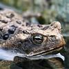 Frog at rooi prins