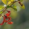 Cat-claw blackbead (Pithecellobium unguis-cati)