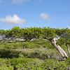 Roughbark lignum-vitae (Guaiacum officinale)